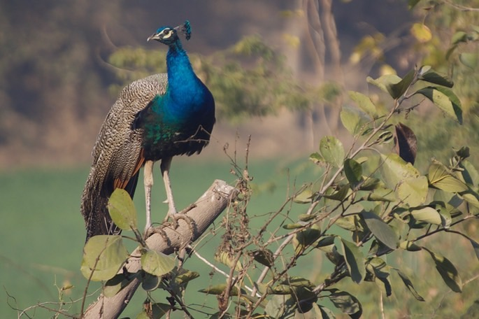 indian-peafowl-2_med