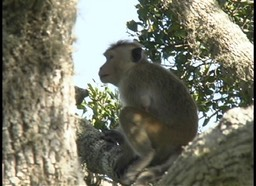 Macaque, Bonnet 2