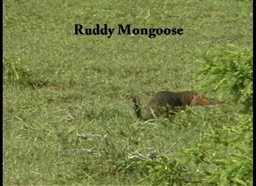 Mongoose, Ruddy