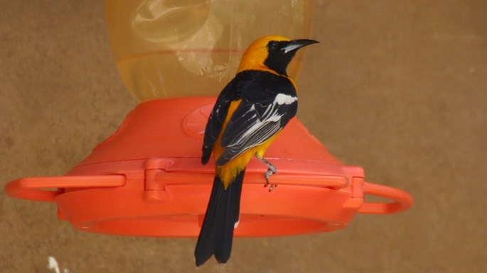Oriole, Hooded 1