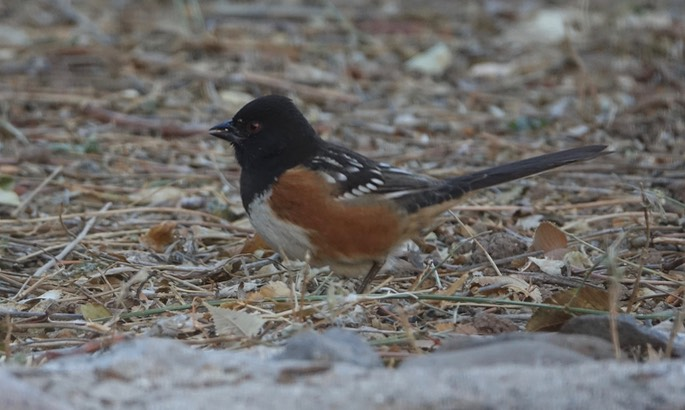 Spotted Towhee Dec9a