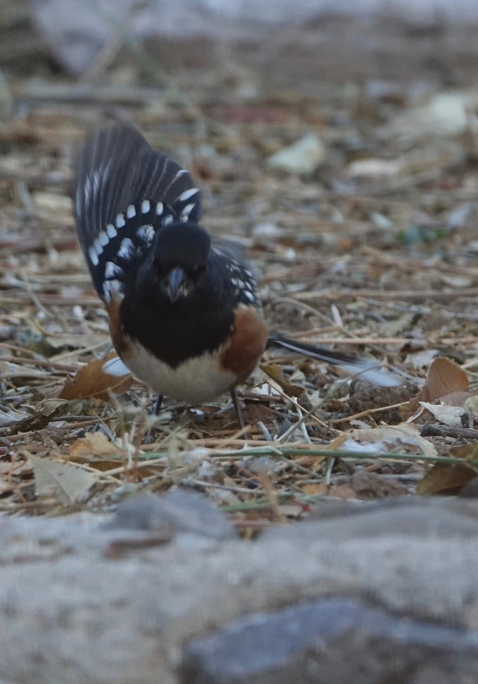 Spotted Towhee Dec9c