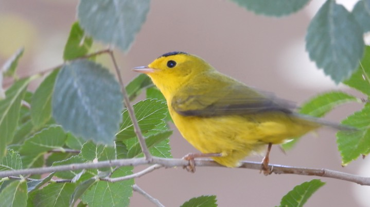 Warbler, Wilson's - Hillsboro, New Mexico - September 2020 1