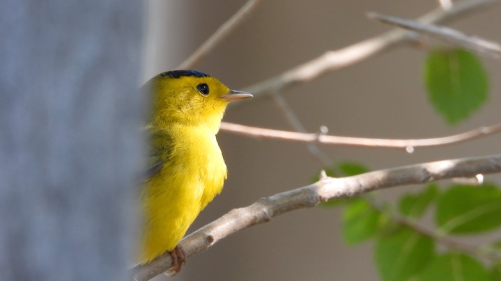 Warbler, Wilson's - Hillsboro, New Mexico - September 2020 3
