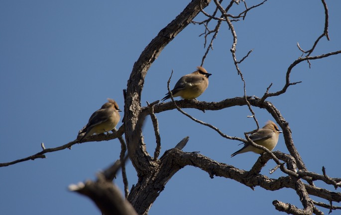 Cedar Waxwings, Forest Road 157, Black Range