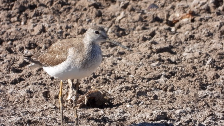 Yellowlegs, Greater - NM - 2021 b