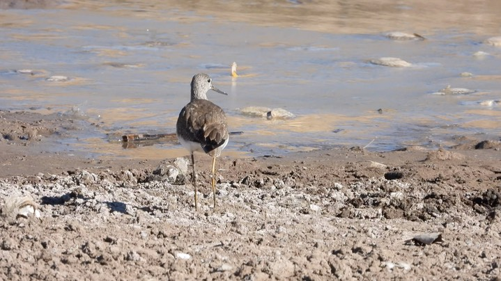 Yellowlegs, Greater - NM - 2021 a